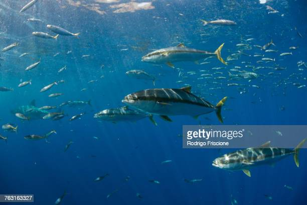 School of Yellowtail (Seriola quinqueradiata) swimming close to surface, Guadalupe, Mexico