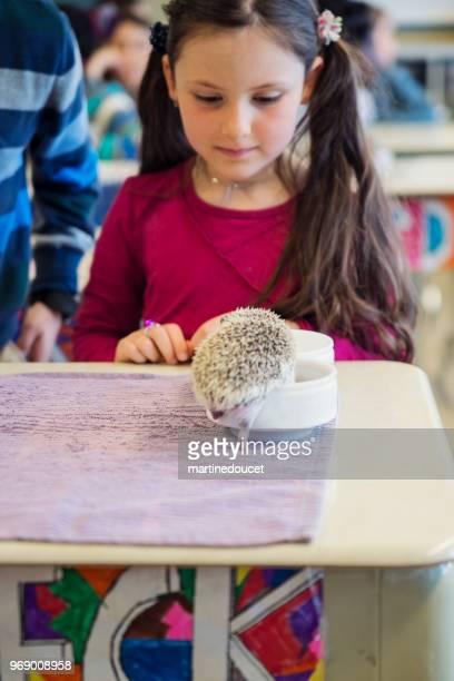 """school presentation, discovering hedgehogs in the classroom. - """"martine doucet"""" or martinedoucet imagens e fotografias de stock"""