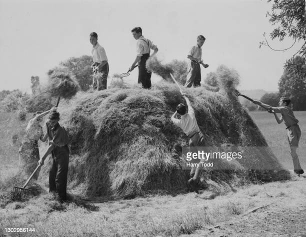 Schoolboys from the Alcestor Road Senior School at work forking hay and dried grass into a haystack for silage on their school playing fields as part...