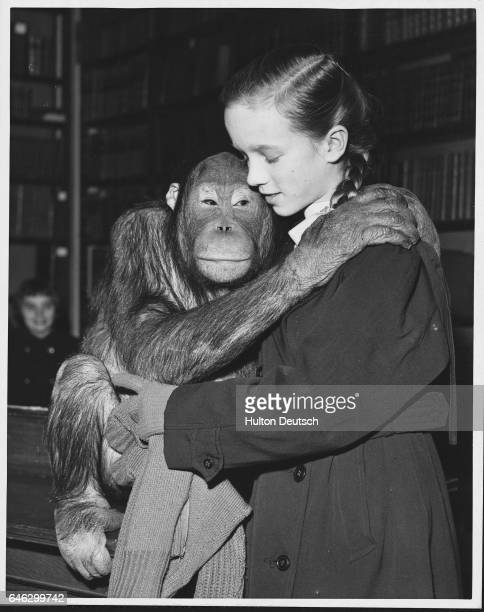 Schoolgirl Ruth Bodger with Alexander the orangutan during a lecture on 'The World of the Chimpanzee' given by Desmond Morris at London Zoo England...