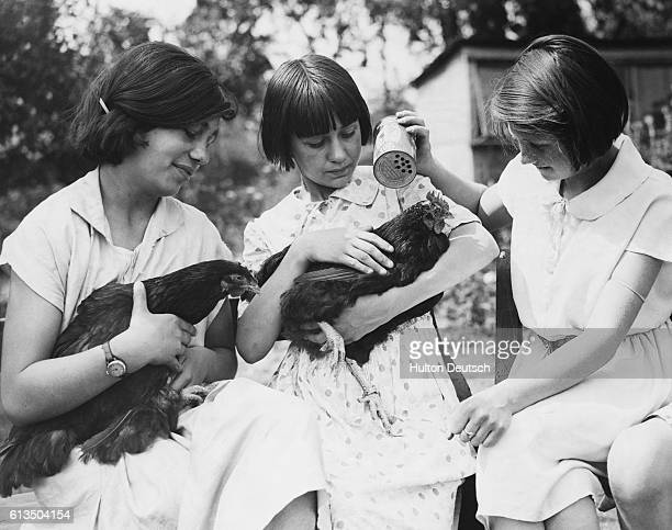 A schoolgirl sprinkles powder over one of the chickens kept in a coop at her school in West Drayton 1934