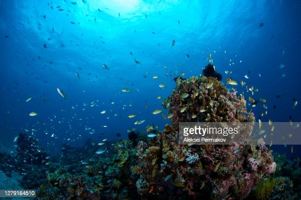 schooling anthias on the coral reef - 熱帯魚 ストックフォトと画像
