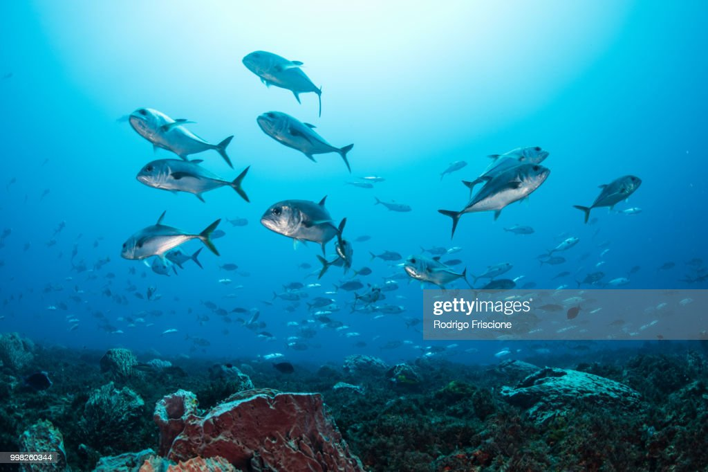 Schooling Bigeye jacks around reef structure, Puerto Morelos, Quintana Roo, Mexico : Stock-Foto