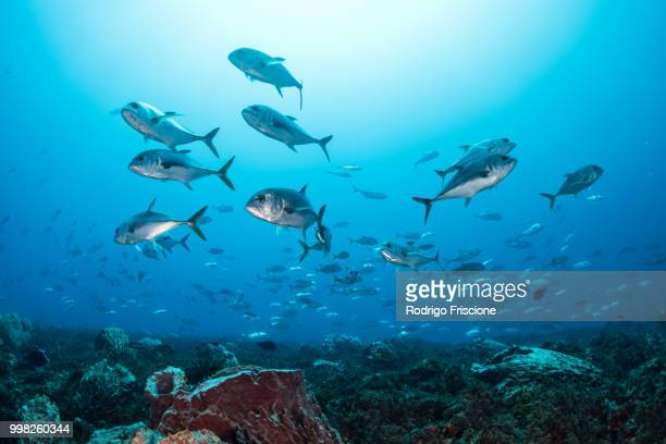 schooling bigeye jacks around reef structure, puerto morelos, quintana roo, mexico - fish stock pictures, royalty-free photos & images