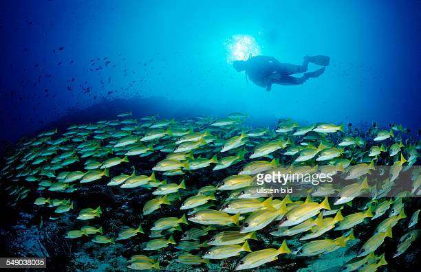 schooling Bluestripe Snappers and Diver Lutjanus kasmira Maldives Indian Ocean Meemu Atoll
