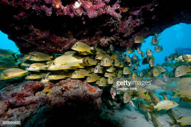 schooling fish in coral reef - reef stock pictures, royalty-free photos & images