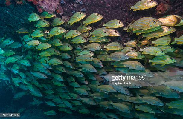 Schooling fish on Coral reef.