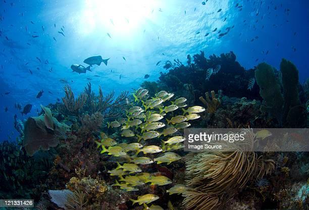 Schooling fish on reef