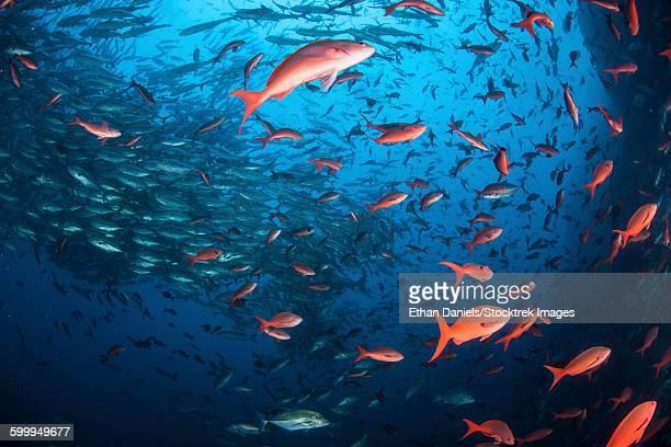 Schooling fish swim near Cocos Island, Costa Rica.