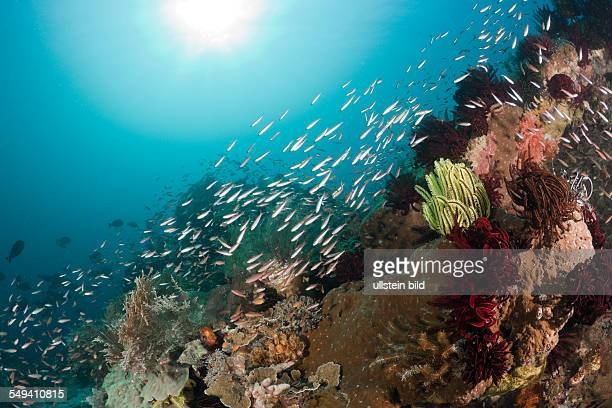 Schooling Fusiliers over Coral Reef, Pterocaesio pisang, Raja Ampat, West Papua, Indonesia