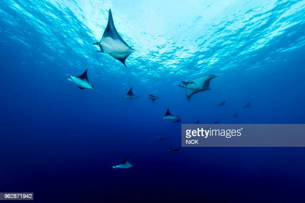 schooling mobula ray moving in the blue - ecosystem stock pictures, royalty-free photos & images