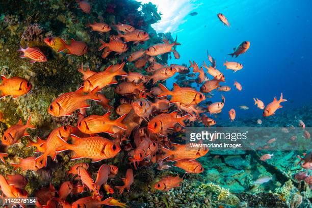 schooling squirrelfish (sargocentron sp.).  gubal islands, northern red sea, egypt - squirrel fish photos et images de collection