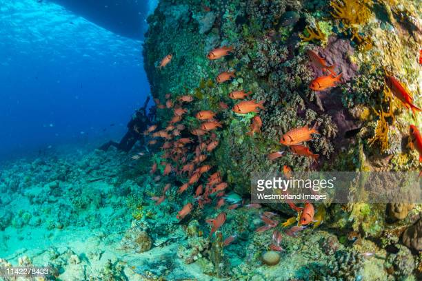 schooling squirrelfish (sargocentron sp.).  gubal islands, northern red sea, egypt - squirrel fish 個照片及圖片檔