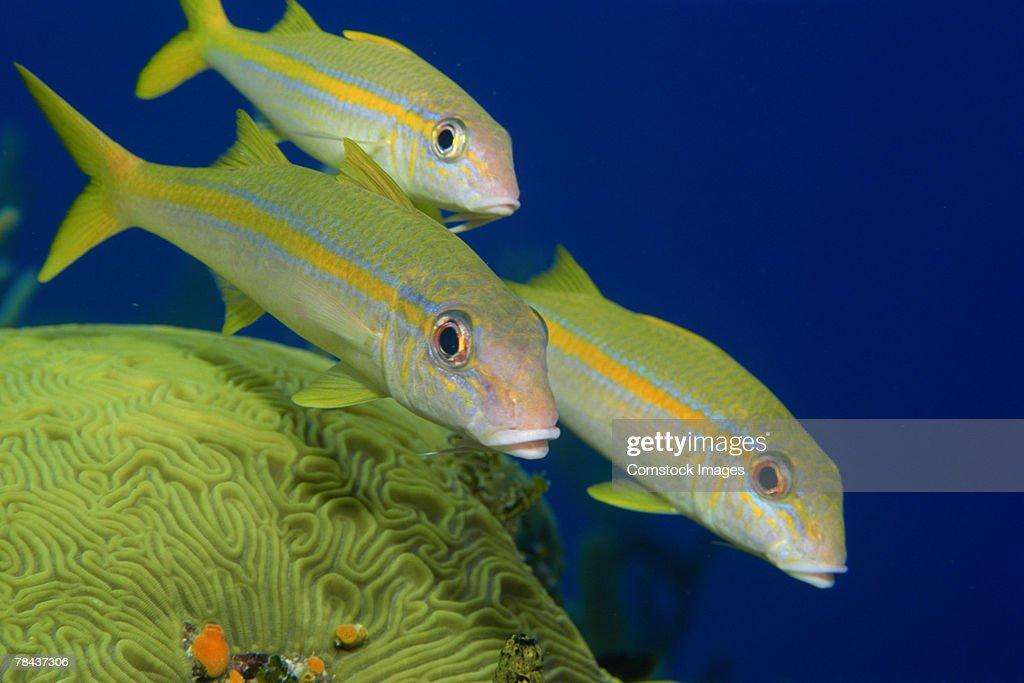 Schoolmaster snapper fish : Stockfoto