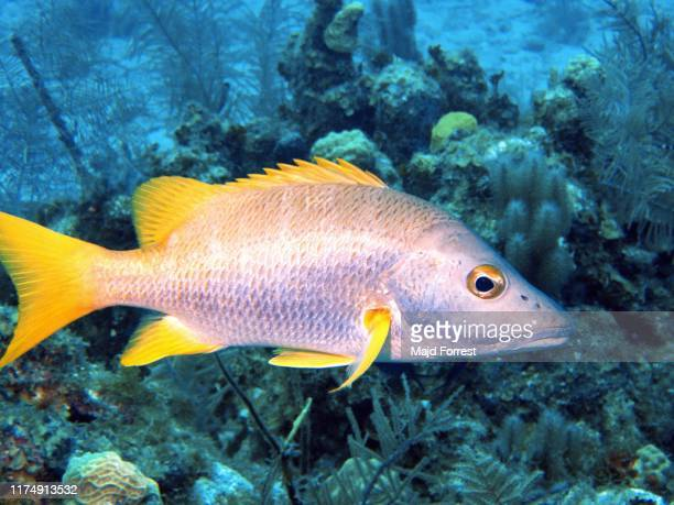 schoolmaster snapper (lutjanus apodus), gran cayman caribbean - indo pacific ocean stock pictures, royalty-free photos & images