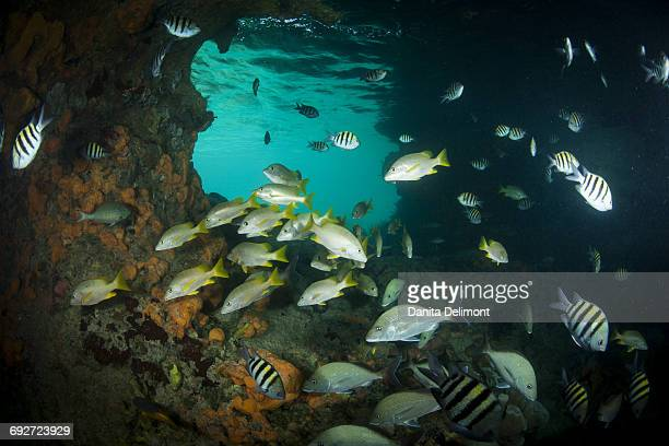 Schoolmaster Snappers, Mangrove Snappers, Sergeant Major Fish and other assorted tropical fish congregate in Thunderball Grotto near Staniel Cay, Exuma, Bahamas