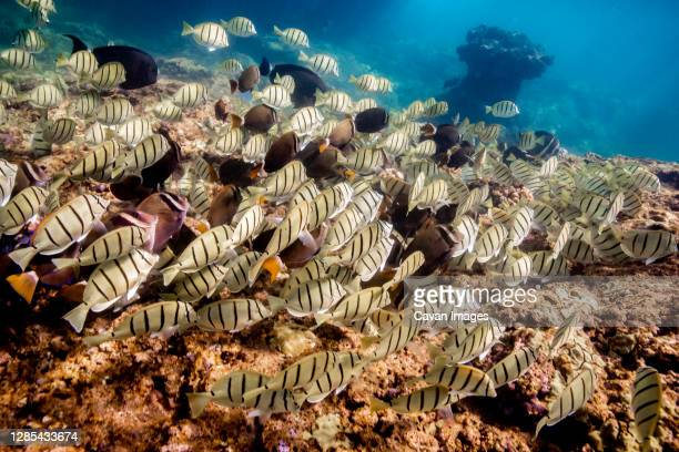 schools of fish swim above a coral reef in the ocean of oahu, hawaii - category:census-designated_places_in_honolulu_county,_hawaii stock pictures, royalty-free photos & images