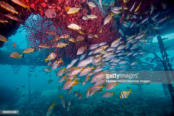Schools of Gray Snapper, Yellowtail Snapper and Bluestripe Grunt fish.