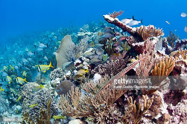 Schools of grunts and snappers on reef in Caribbean Sea.
