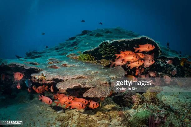 schools of red squirrel fish hiding under hard corals - squirrel fish stockfoto's en -beelden