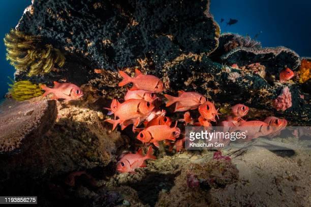 schools of red squirrel fish under hard corals - squirrel fish stockfoto's en -beelden