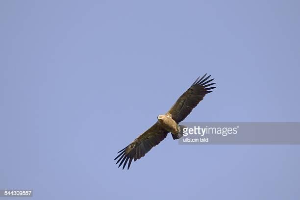 Schreiadler Aquila pomerina Lesser Spotted eagle Flug kreisend
