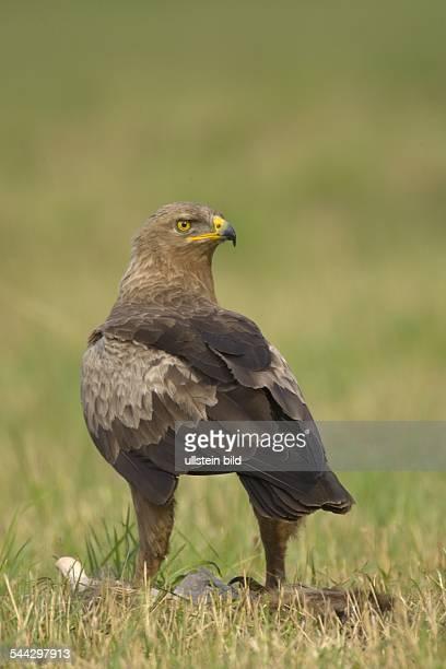 Schreiadler Aquila pomerina Lesser Spotted eagle