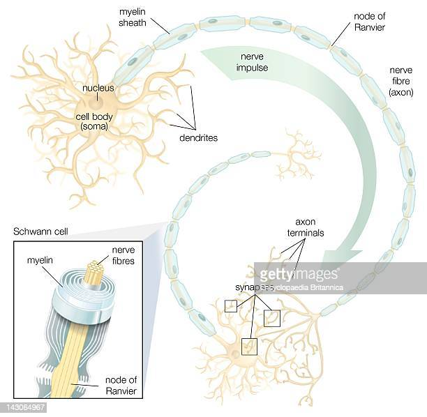 Myelin sheath stock photos and pictures getty images schwann cells in the peripheral nervous system produce the insulating myelin sheath that covers the axons ccuart Gallery