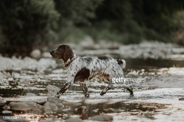 schwarz weisser hund rennt spielt im wasser - wasser stock pictures, royalty-free photos & images