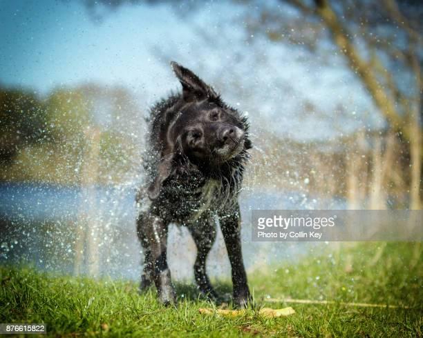 schwarzer hund schüttelt sich trocken - collin key stock-fotos und bilder