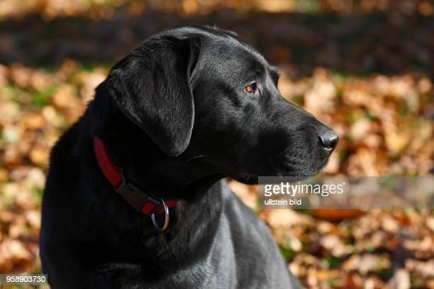 Schwarzer Labrador Retriever im Herbstlaub Rüde Porträt Hunderasse SchleswigHolstein Deutschland