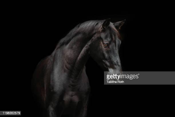 schwarzes pferd vor schwarzem hintergrund - paardensportevenement stockfoto's en -beelden