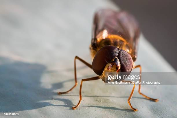 schwebefliege - paper wasp stock pictures, royalty-free photos & images