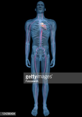 Science Human Body Design Biology Physical Structure ...