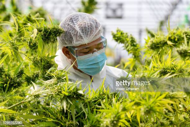 scientist checking and analyzing hemp plants in the field,cannabis research concepts. - cannabinoid stock pictures, royalty-free photos & images