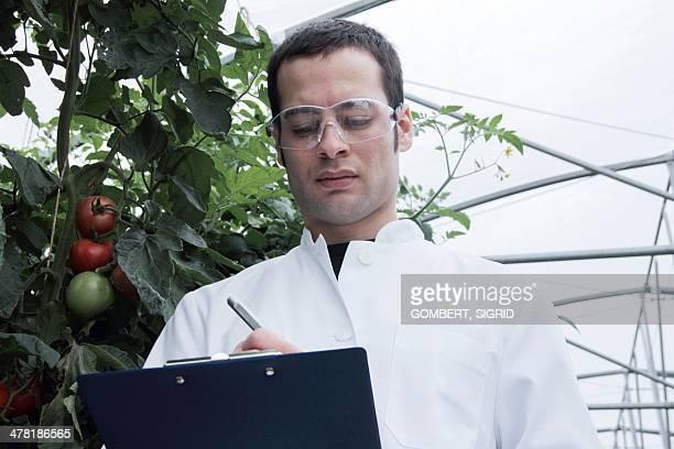 scientist checking tomatoes - sigrid gombert stock-fotos und bilder