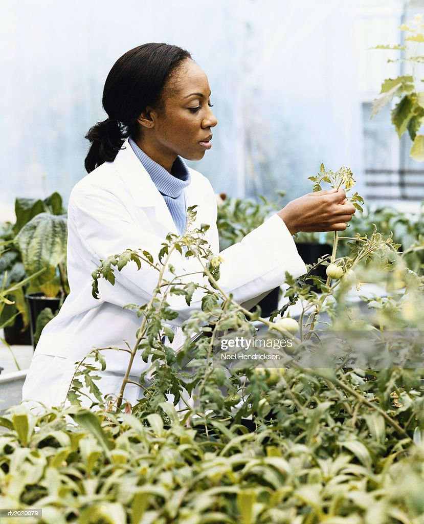 Scientist Examining a Plant in a Greenhouse : Stock Photo
