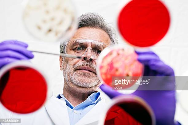 scientist examining cultures in petri dishes - microbiology stock pictures, royalty-free photos & images