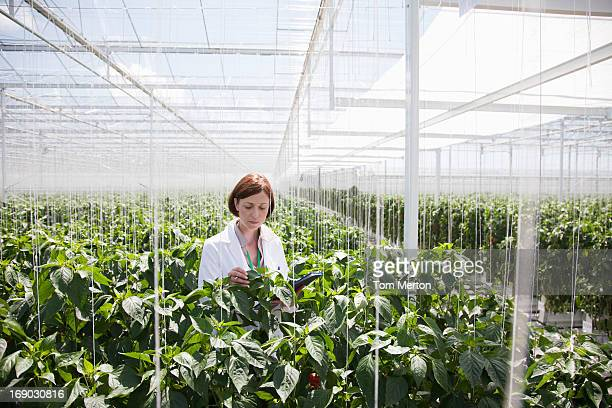 scientist examining plants in greenhouse - genmodifiering bildbanksfoton och bilder