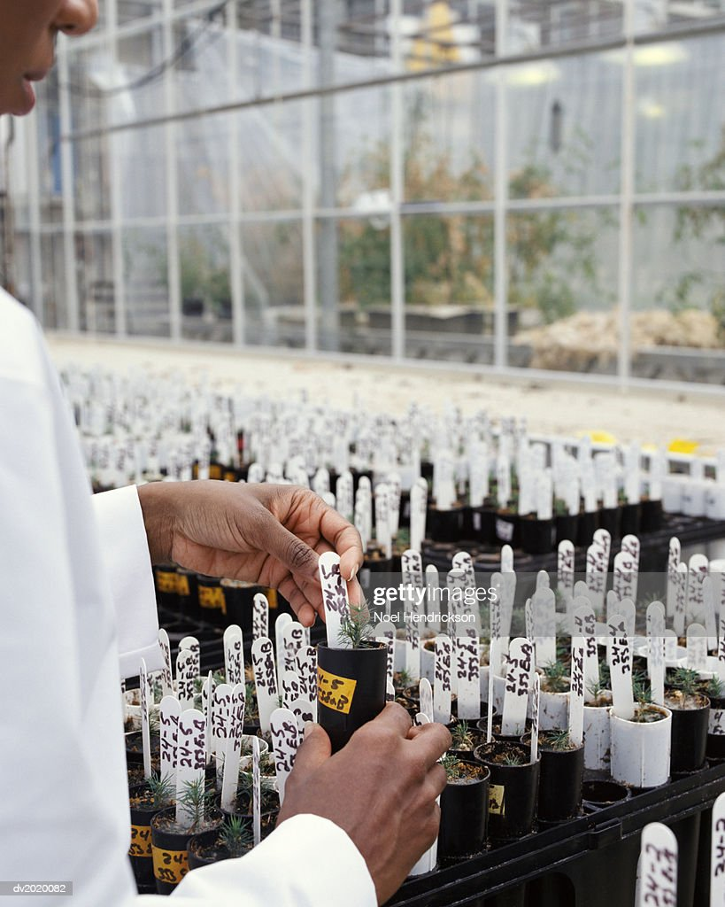 Scientist Examining Potted Plants in a Greenhouse : Stock Photo