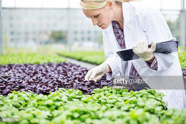 Scientist examining seedlings in greenhouse