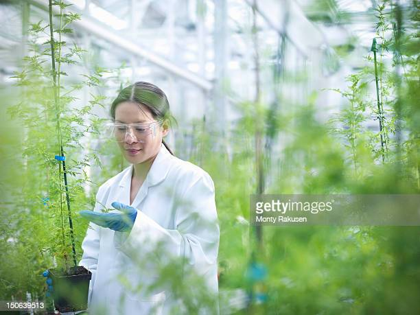 Scientist growing Sweet Wormwood (Artemisia annua) in nursery of biolab for structural analysis of DNA, protein extraction and genetic modification