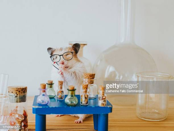 scientist hamster - smart stock pictures, royalty-free photos & images