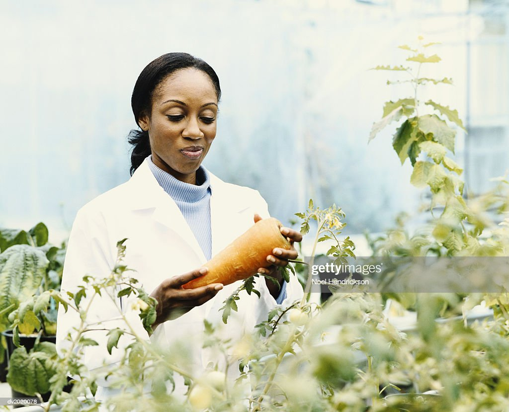 Scientist Holding a Large Carrot in a Greenhouse : Stock Photo