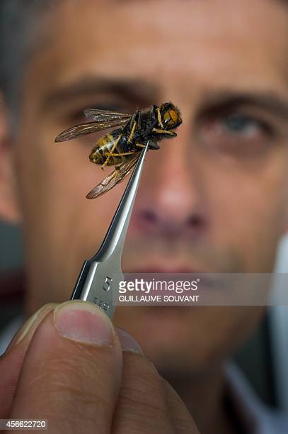A scientist holds an Asian hornet on September 30 2014 at the Research Institute of Biology of the Insect in Tours central France The Asian hornet an...