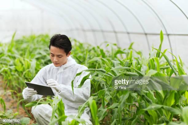 Scientist in greenhouse examining corn seedlings, China