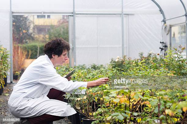 Scientist in greenhouse examining plants