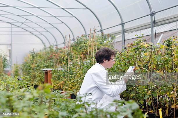 Scientist in greenhouse examining roses