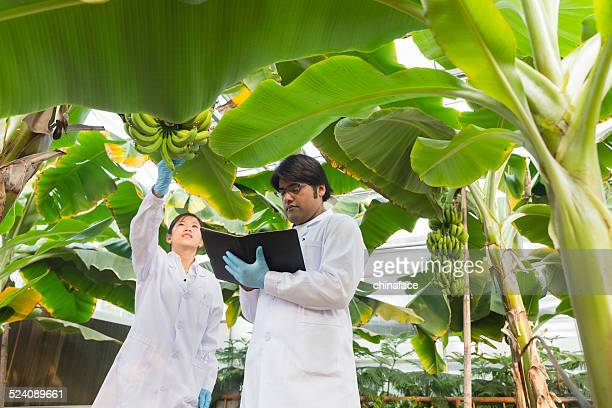 scientist in greenhouse - banana tree stock pictures, royalty-free photos & images