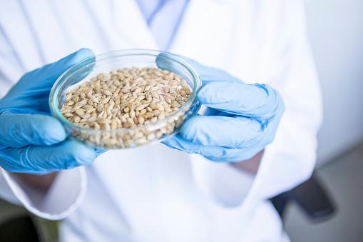 Scientist in lab holding grain sample in petri dish - gettyimageskorea